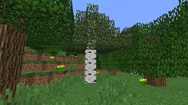 森に生えているシラカバの木