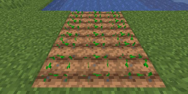 植えられた小麦