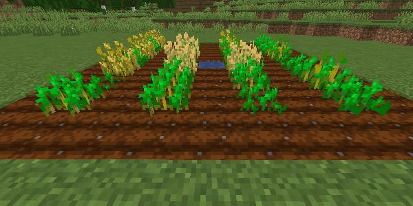 1列おきに植えられた畑