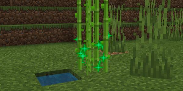 骨粉で成長するサトウキビ