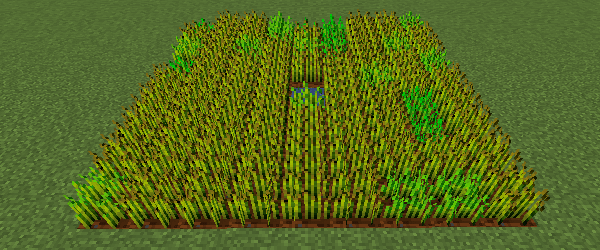 植えてから60分後の小麦畑の状態