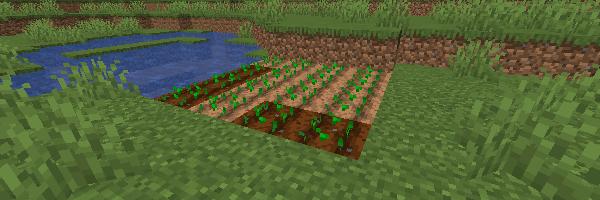 小麦の種が植えられた畑